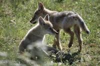 These two cute Coyote puppies where having a friendly play fight between siblings.