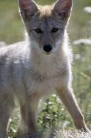 This cute coyote puppy was not camera shy at all, with oversized ears which I'm sure he will grow into as his matures.
