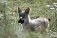 The coyote is a member of the dog family and is similar in size and shape to a medium sized domestic Collie Dog.