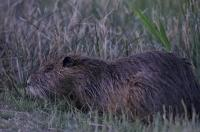 The coypu is large, aquatic rodent which feeds on aquatic or terrestrial plants such as those found in the Camargue of France.