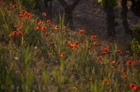 Crimson Poppies Picture Bouches Du Rhone