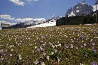 Crocus flowers grow wild in a field at Passo Montecroce (Kreuzerbergpss) in South Tyrol, Italy in Europe.