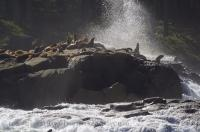 Stock photo of Sea Lions resting on a rock with big waves