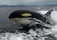 Surfing Orca beside a whale watching boat of Vancouver Island in Johnstone Strait, British Columbia
