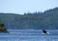 Kayak Adventure Jumping Killer Whale