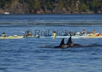 Kayaking With Whales Johnstone Strait