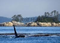 Stock photo of Marine Animals, Vancouver Island