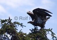 A young immature bald eagle is taking off from a tree branch