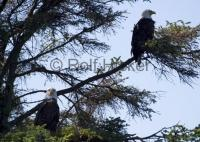 Bald Eagles CRW 8101