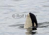 A73 Springer killer whale photos