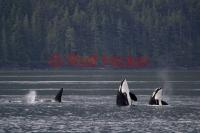 Orca whales spyhopping and checking out a whale watching tour on Northern Vancouver island, BC