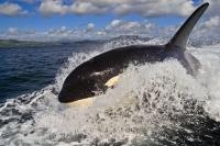 Photo from the Whale Watching Season off Vancouver Island in BC