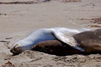 Two Hooker Sea Lions cuddling on the beach in Molyneux Bay in Otago on the South Island of New Zealand.