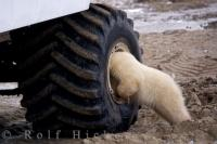 A priceless picture of a Polar Bear cub being very curious and trying to find out what is in the inside of the wheel well on a tundra buggy in Churchill, Manitoba in Canada.