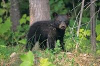 The cute face of this baby black bear is what wildlife is all about in Ontario, Canada.
