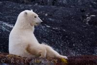 Cute Polar Bear Picture Churchill Manitoba