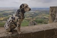 A cute Dalmatian Dog sits on the castle wall at the Castillo de Loarre in Aragon, Spain where he can overlook the scenic landscape.