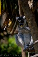 Cute Lemur Animal Auckland Zoo