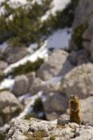 Being alert is a very strong characteristic of this cute brown Alpine Marmot who resides in the Dolomite Range in South Tyrol, Italy.