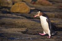 Cute Penguin Picture Catlins Forest South Island NZ