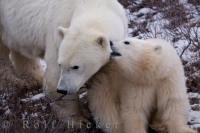 A Polar Bear family consisting of a sow and her cute cub, spend a bonding moment on the icy tundra of the Churchill Wildlife Management Area in Churchill, Manitoba.