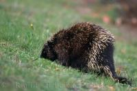 A cute little porcupine spends his day sniffing around the green grass in Nova Scotia, Canada.