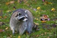 Cute Raccoon Picture Fall Landscape Parc Omega