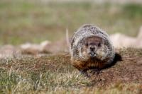 Cute Woodchuck Picture Southern Labrador Canada