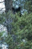 This cute young Black Bear peers out from behind the branches of a tree in the Rocky Mountains of Alberta, Canada.