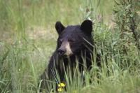 A cute black bear peers out from behind the long grass in British Columbia, Canada.