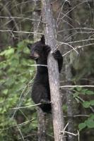 cute black bears