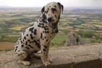 In the city of Huesca in Aragon, Spain in Europe a cute Dalmatian dog sits upon the stone wall of the Castillo de Loarre.