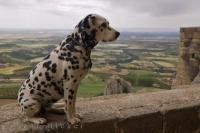 A cute dalmatian dog poses for his picture while enjoying the scenic countryside in Huesca, Aragon in Spain, Europe.