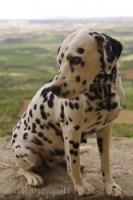 A Dalmatian puppy poses on a wall pretending to be king of the castle at the Castillo de Loarre in Huesca, Aragon in Spain, Europe.