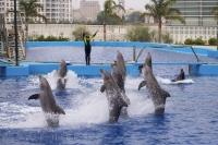 Eight dancing dolphins perform for the crowds at the L'Oceanografic in Valencia, Spain in Europe.