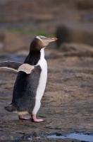 When penguins come ashore, as well as preening themselves and checking out their surroundings they also move like they are dancing.
