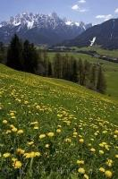 Dandelions blanket a field in South Tirol, Italy with the Dolomite mountain range surrounding the countryside.