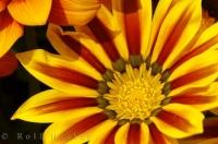 Daybreak Red Stripe Gazania