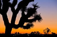 A joshua tree is silhouetted by sunset along with the surrounding desert landscape of Joshua Tree National Park in California, USA.