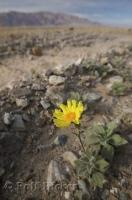 A wildflower found in Death Valley in California is Desert Gold otherwise known as Geraea canescens.
