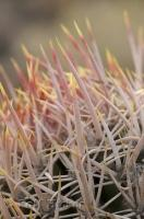 This lethal looking cactus is just one of the varieties of plants found in the Death Valley desert in California, USA.