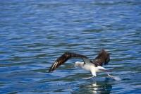 A Diomedea sanfordi, a Northern Royal Albatross skims across the water as a whale watching tour with Encounter Kaikoura goes by. This bird was seen around Kaikoura on the East Coast of the South Island of New Zealand.