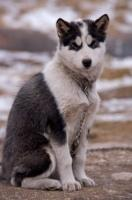 Canadian Eskimo Dog Rescue