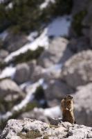 A cute little marmot perched on top of the rocks in the Dolomite mountains near Falzarego Pass in Italy, Europe.