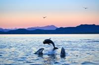 Three Pacific White Sided Dolphins frolick and play at sunset in the Johnstone Strait off the coast of Vancouver Island in British Columbia. Dolphins are well known for their playful antics and interactions.