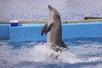 A Bottlenose Dolphin at the L Oceanografic at the City of Arts and Science in Valencia, Spain enjoys to dance for the crowds.