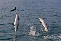 Dusky Dolphins jump and play in the water around the East Coast of the South Island of New Zealand as seen during a dolphin watching tour with Encounter Kaikoura, a tour company based out of Kaikoura, New Zealand.