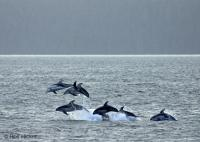 Stock of Dolphin Photos, Pacific White Sided Dolphins