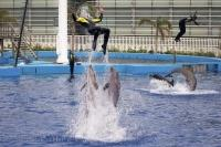 The trainers love to play with each dolphin that resides at the aquarium in the city of Valencia, Spain in Europe.