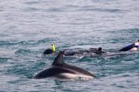 Don a wetsuit and swim with the dolphins during a tour with Encounter Kaikoura on the South Island of New Zealand.